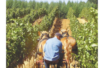 Raising the Hoof: Vineyard owners toast natural horsepower and livestock to improve fruit and earth